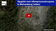 eikenprocessierupsen in Wolvenberg Berchem TV